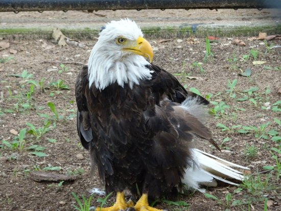 Sequoyah State Park: Eagle flew into powerline