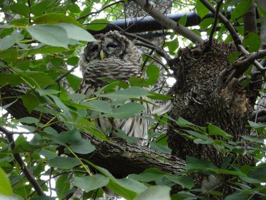 Hulbert, OK: Owl