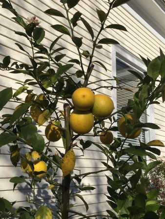 Columbia, MS: Corner Oaks Bed and Breakfast: Amazing Lemons