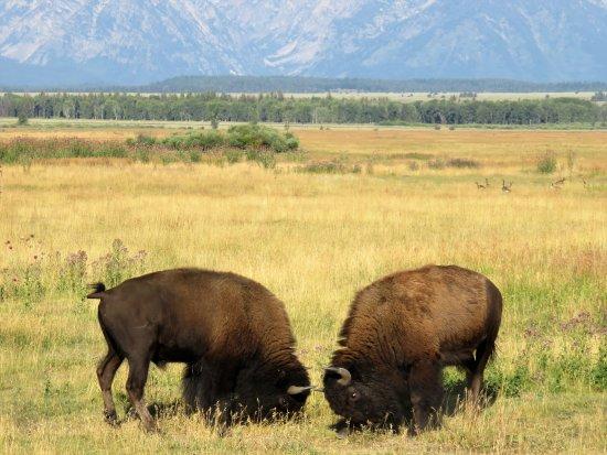Jackson Hole Eco Tour Adventures : Bison surround our van