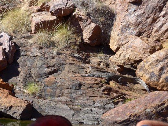 Kununurra, Αυστραλία: a sleepy crocodile on the riverside rocks