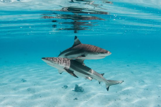 Haapiti, French Polynesia: Two magnificent black tip shark / Deux magnifiques requins pointe noire