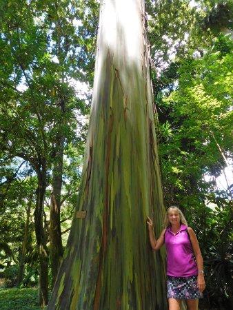 Wahiawa, HI: rainbow eucalyptus