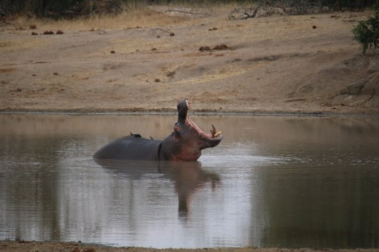 Ngala Private Game Reserve, South Africa: hippo