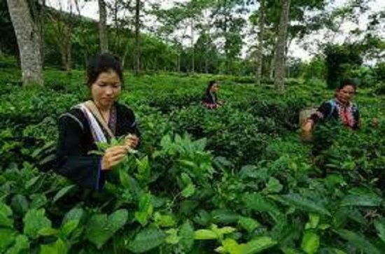 Chiang Mai Tour with Tea Plantation ...