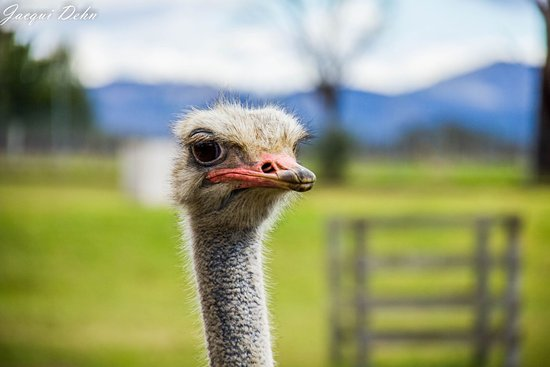 Nulkaba, Australien: Emu