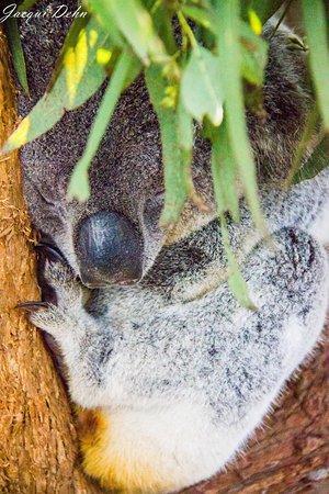 Nulkaba, Australien: Koala