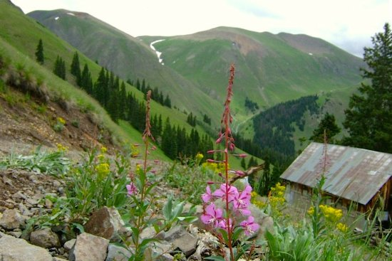 Switzerland of America Tours: Fireweed & old mine in Picayune Gulch