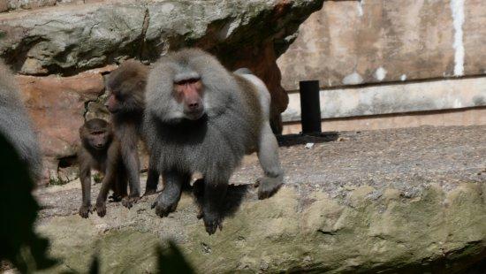 Paignton, UK: Baboons