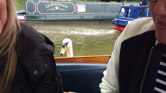 Bathampton, UK: Swans like scones too and don't like to be refused.