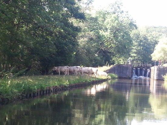 Digoin, France: Une écluse et des vaches
