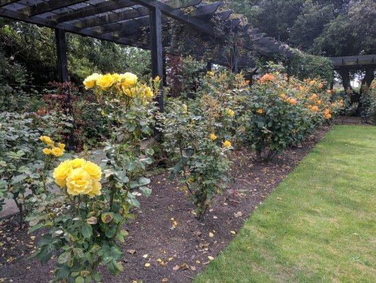 Whitstable, UK: Yellow roses in the garden.