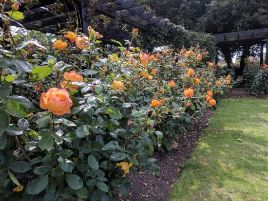 Whitstable, UK: Orange roses in the garden.