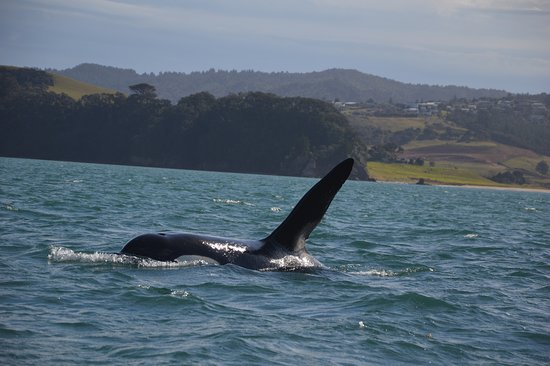Whitianga, New Zealand: Orca