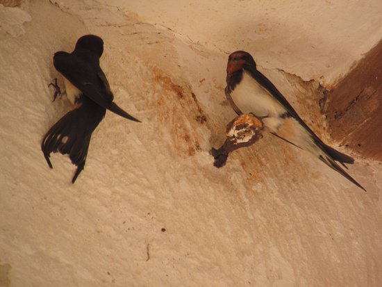 Alcaufar Vell : Swallows nest at the reception area of the hotel.
