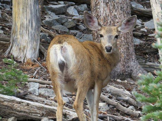 Baker, NV: Mulwe deer doe out the car window.