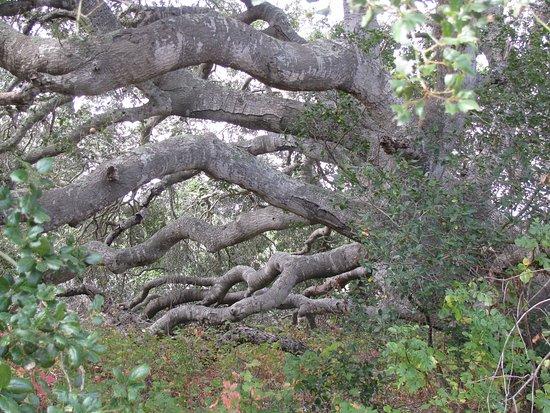 Lompoc, CA: Unusual trees.