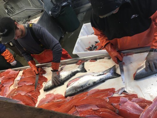 Kingfisher Charters & Lodge: Fish processing. Fish are bagged and frozen for the trip home