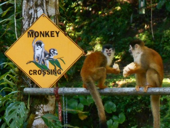 Carate, Costa Rica: Squirrels monkeys at Ave Azul de la Osa