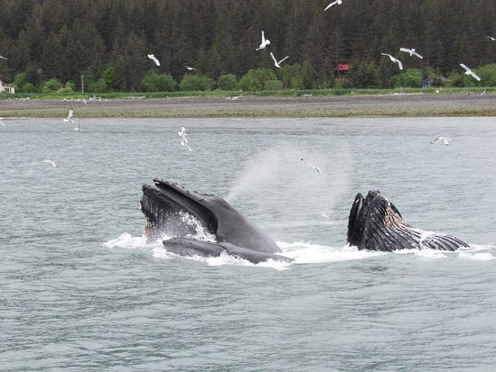 Seward, AK: Bubble Feeding!