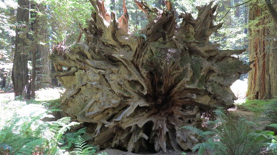 Weott, CA: A fallen tree with a HUGE root system. A person would be just a tenth of the height of this trun
