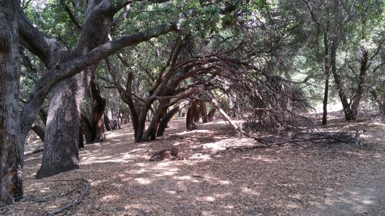 San Fernando, CA: Oak groves