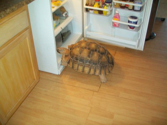 Base Camp Adventure Lodge: Security tortoise looking for dinner