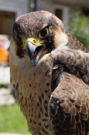 Aymavilles, Italia: Holzo (Falco pellegrino)