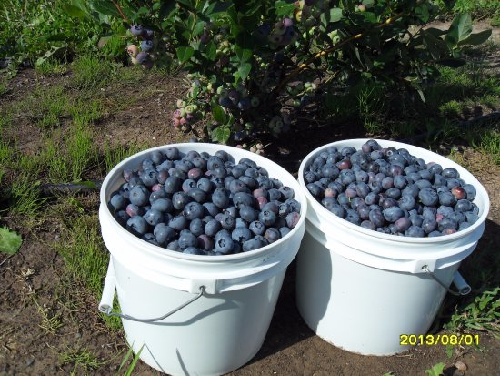 Sault Ste. Marie, Μίσιγκαν: Pick in our buckets or your own container.