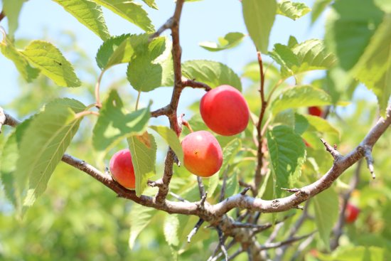 Pryor, MT : Wild plums all over the park!