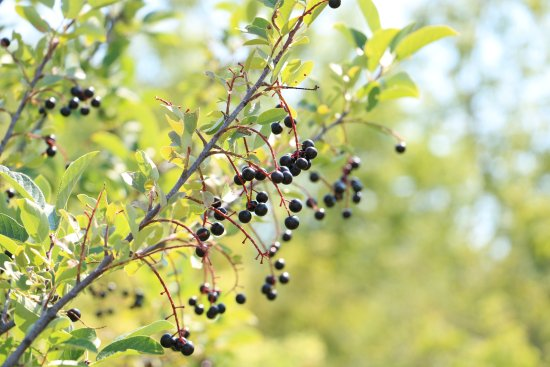 Pryor, Μοντάνα: Black currants