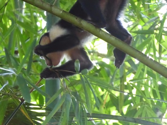 Dominical, Costa Rica: spider monkey