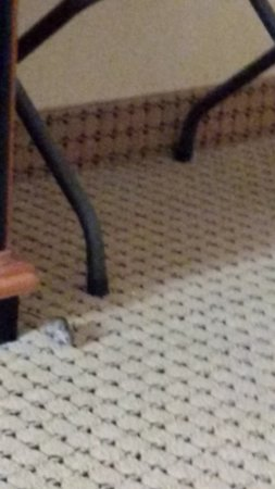 Hollywood Casino Lawrenceburg Hotel: Mice in the Hotel Room!!! NOT ground floor room!