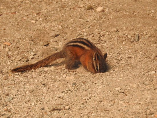 Hope, Canadá: Our entertaining chipmunk