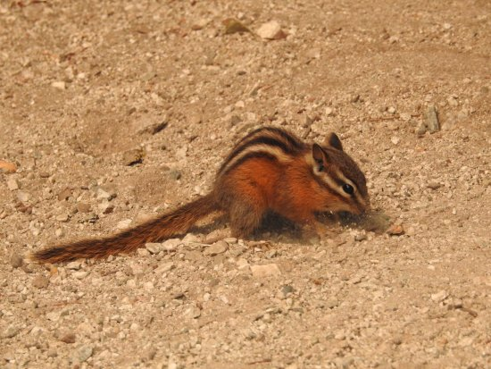 Hope, Canadá: Our entertaining chipmunk, coming up for air