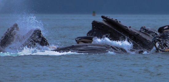 Gastineau Guiding Company - Juneau's Premier Guiding Company: Humpback whales feeding.