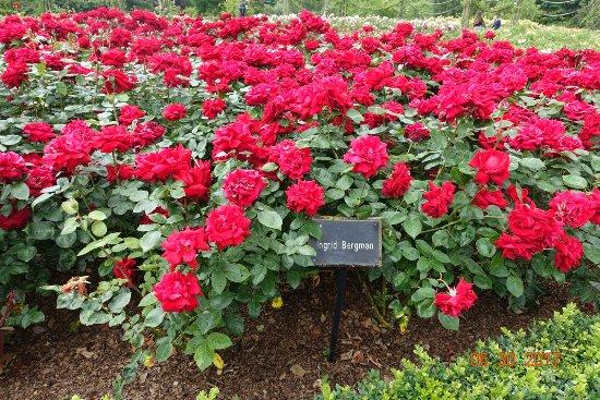 ingrid bergman roses picture of queen mary 39 s gardens. Black Bedroom Furniture Sets. Home Design Ideas