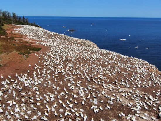 Perce, Canada: Un aperçu de la colonie de Fous de Bassan