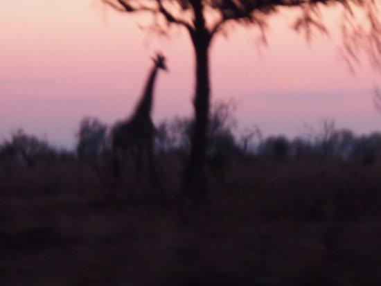 George, Sydafrika: on safari