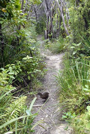 Bay of Many Coves: Bush Track With Weka