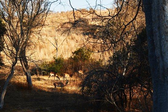 Magaliesburg, Sudáfrica: Some more impala.