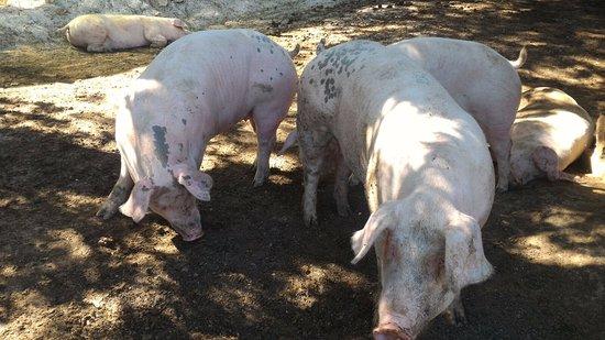 Pizzoferrato, อิตาลี: alcuni maiali dell'Aia Verde