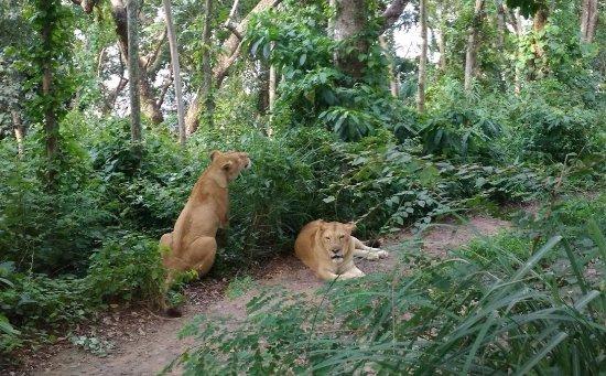 Neyyar Wild Life Sanctuary: Lionesses blocking the way