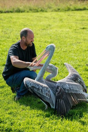 Knutsford, UK : Our Pelicans