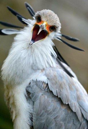 Knutsford, UK : Secrectary Bird