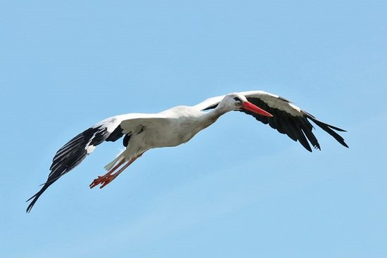 Knutsford, UK: White Stork