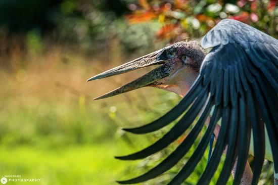 Knutsford, UK: Free flying Marabou Storks