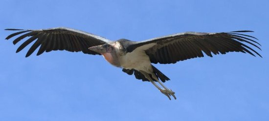 Knutsford, UK: Marabou Stork