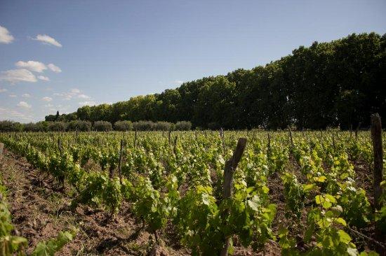Maipu, Αργεντινή: Viñedos de Malbec