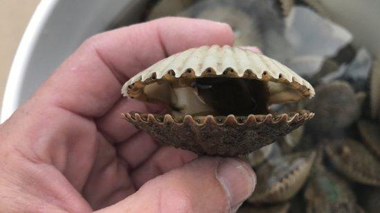 Homosassa, FL: Harvested Scallop